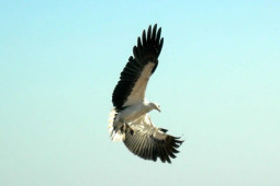 White Sea Eagle